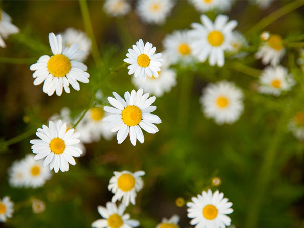 5 wonderful health benefits of chamomile infusion - Global Fashion Street